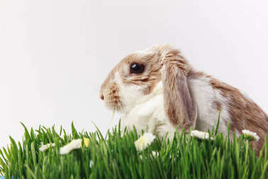 Side view of rabbit with grass stems and camomiles, easter concept