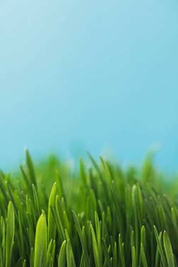Closeup view of green grass stems isolated on blue stock vector