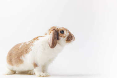 Side view of rabbit with brown and white fur isolated on white
