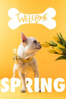 french bulldog dog and yellow tulips with WELCOME SPRING sign