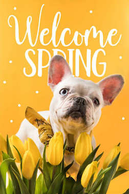 french bulldog dog and beautiful yellow tulips with WELCOME SPRING sign