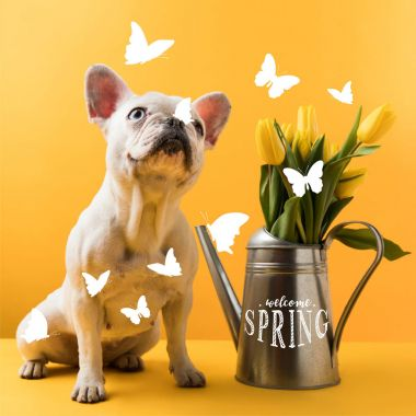 cute french bulldog sitting near watering can with yellow tulips and WELCOME SPRING lettering on yellow