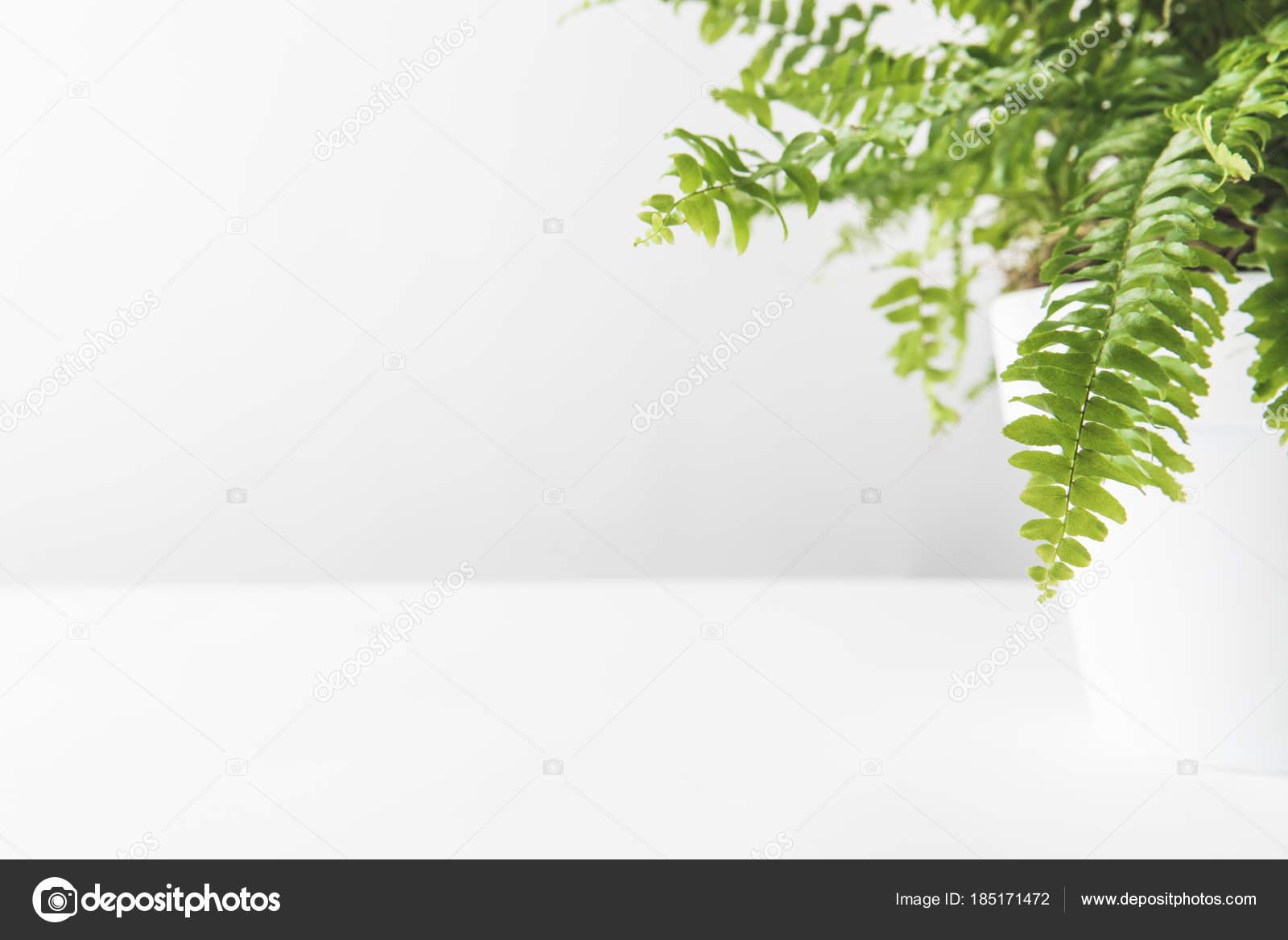 Liść Zielony Piękny Paproć Doniczkowa Białym Zdjęcie Stockowe