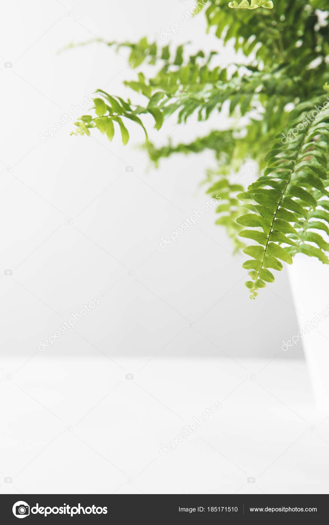 Zbliżenie Zielony Liści Białym Tle Piękny Paproć Doniczkowa