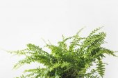Photo close-up view of beautiful green fern houseplant isolated on white
