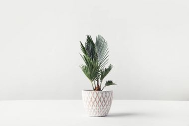beautiful green houseplant growing in decorative pot on white