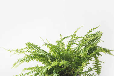 close-up view of beautiful green fern houseplant isolated on white