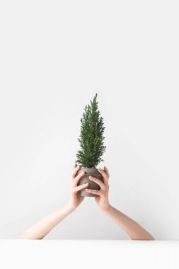 cropped shot of person holding beautiful green potted houseplant in hands on white
