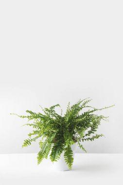 beautiful green houseplant in white pot on white