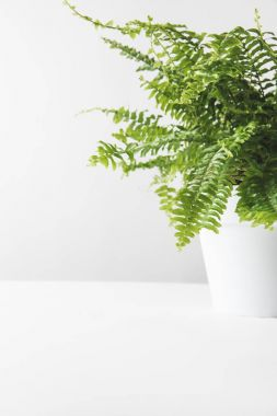 close-up view of beautiful green potted fern on white