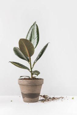 close-up view of beautiful green ficus in pot and soil on white