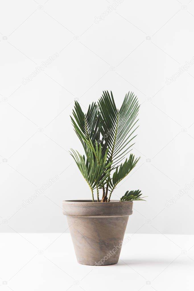 close-up view of beautiful green home plant growing in pot on white