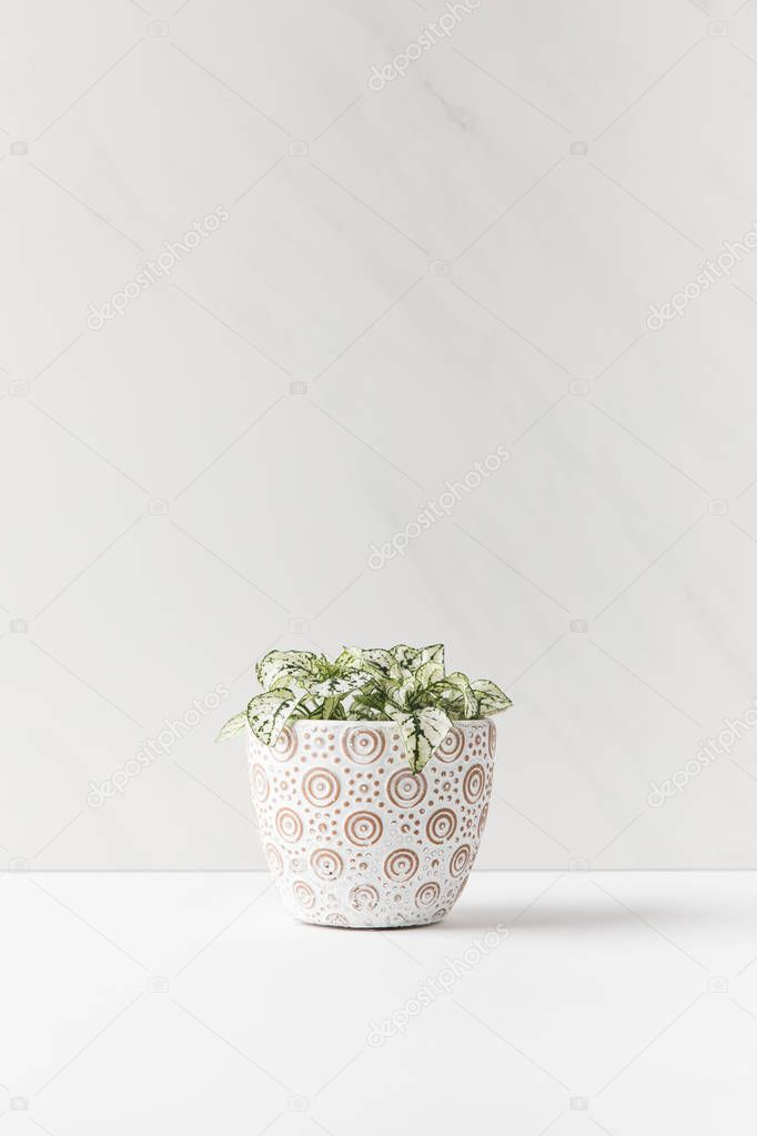 beautiful small green home plant in decorative pot on white