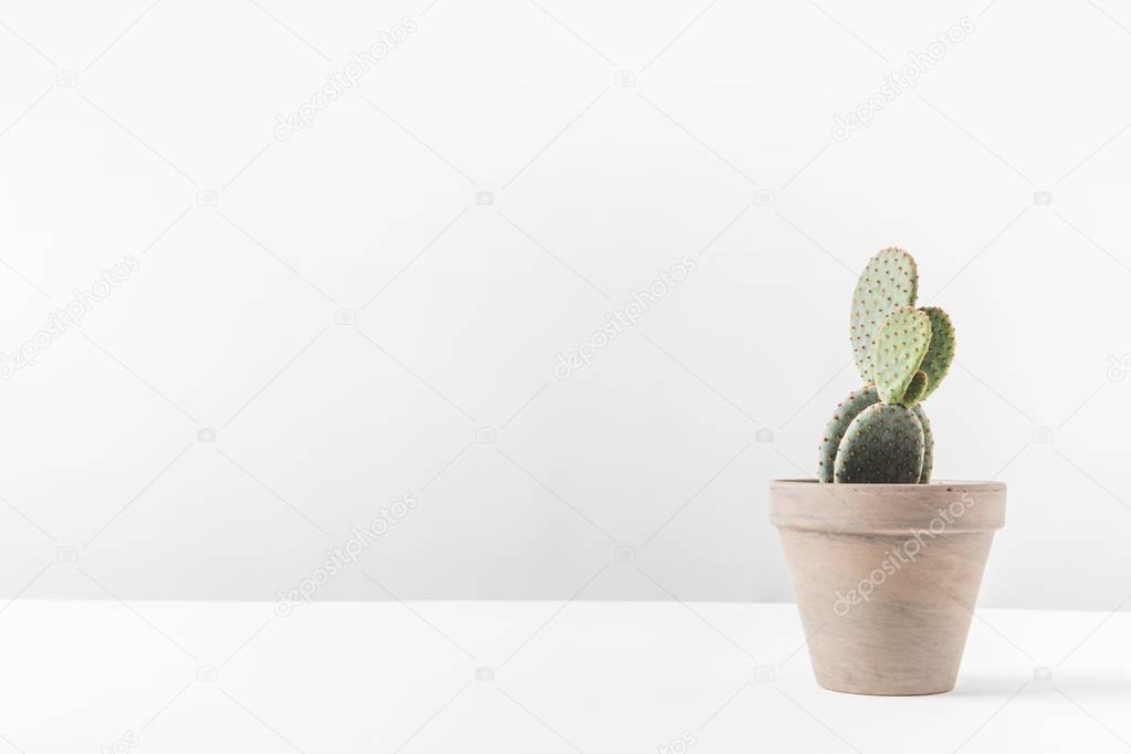 beautiful green potted cactus on white