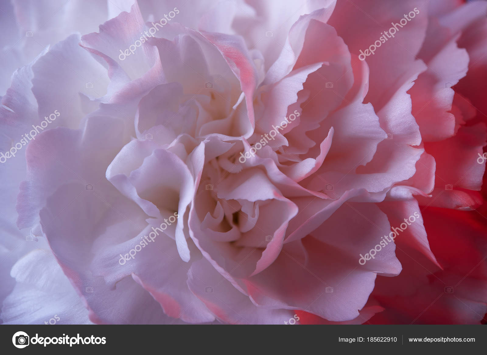Close White Carnation Flower Pink Light Stock Photo
