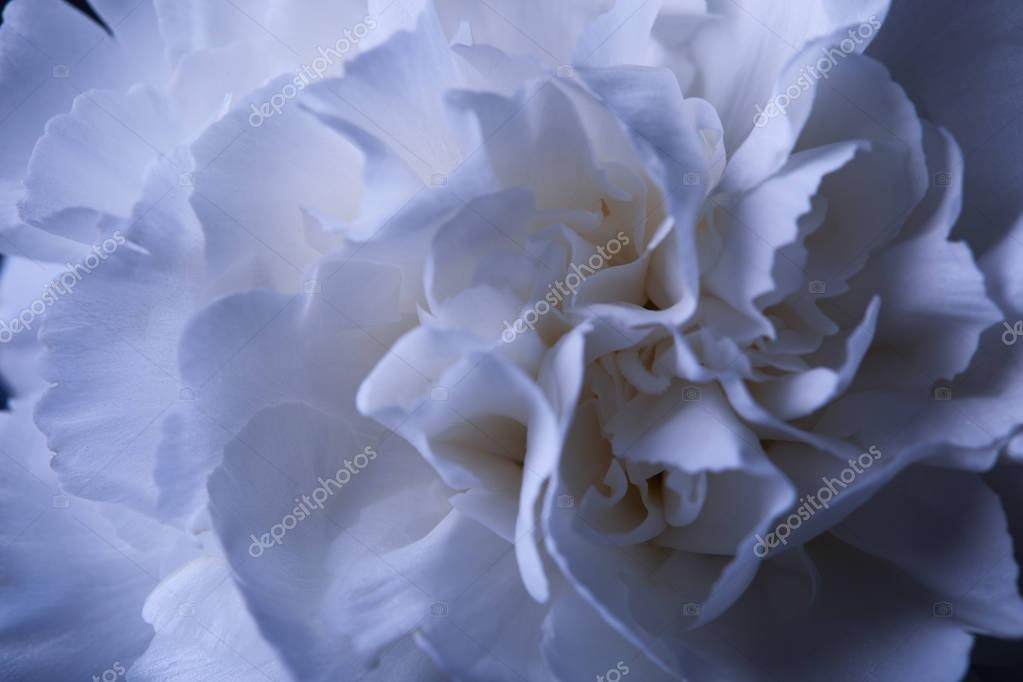 close up of white carnation flower bud with petals