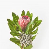 Fotografie close-up view of beautiful exotic protea flower with green leaves isolated on grey