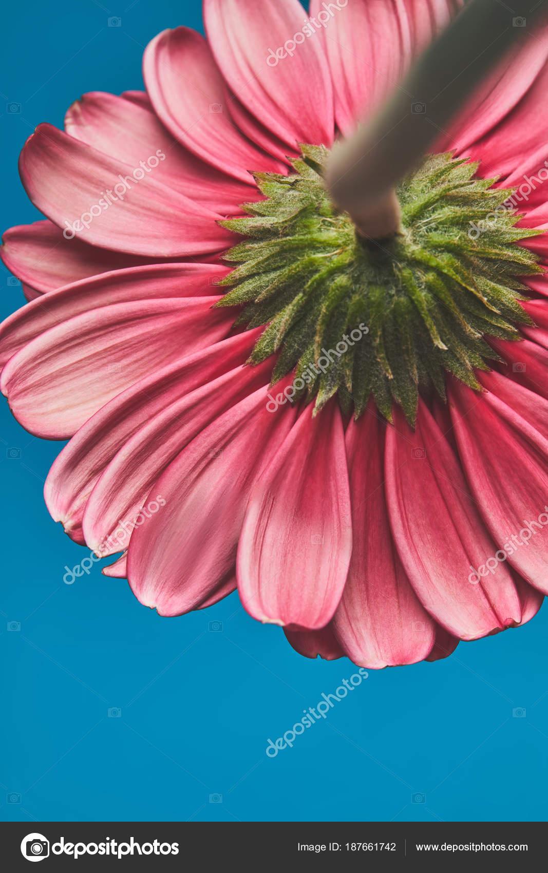 Gros Plan Tire Belle Fleur Gerbera Bleu Concept Jour Meres