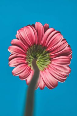 close-up shot of Gerbera flower on blue, mothers day concept