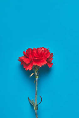 top view of single Dianthus flower on blue, mothers day concept