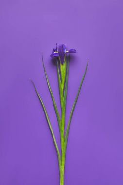 top view of single iris flower on purple, mothers day concept