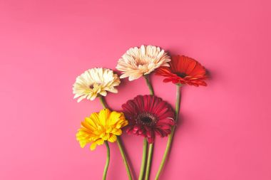 top view of bunch of colorful Gerbera flowers on pink, mothers day concept