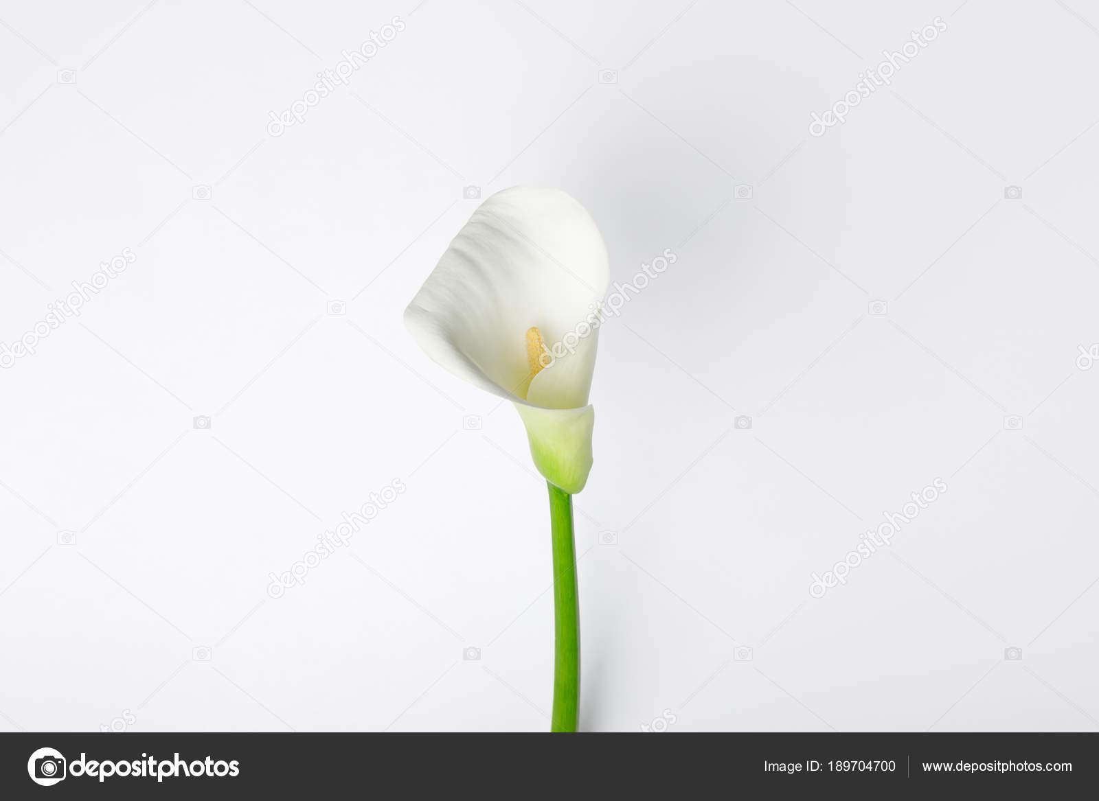 Цветок похожий на каллу белого цвета