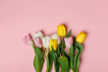 Tender blooming tulips isolated on pink background