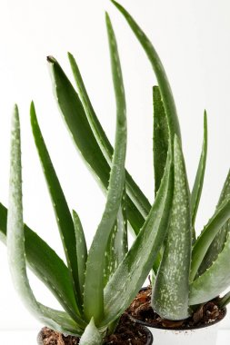 close up view of two aloe vera in pots isolated on white background