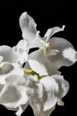 zblízka pohled na bílé orchideje květiny izolované na černé