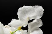 zblízka pohled na bílou orchidej květiny izolované na černé