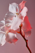 white natural beautiful orchid flowers on branch in red light