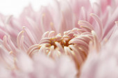 close up view of pink chrysanthemum isolated on white