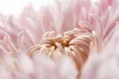 Nahaufnahme von rosa Chrysanthemen isoliert auf weiß