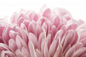 zblízka pohled na růžové chryzantémy izolované na bílém