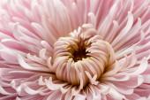 zblízka pohled na růžové květy chryzantémy