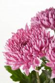 fialové květy chryzantémy izolované na bílém