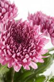 kytice fialové květy chryzantémy se zelenými listy izolovanými na bílém