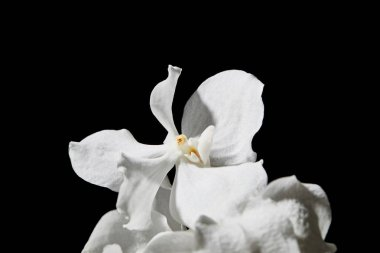 Close up view of white orchid flower isolated on black stock vector