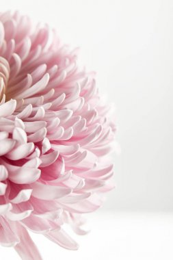 Close up view of pink chrysanthemum isolated on white stock vector