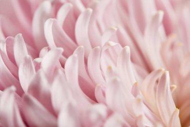 Close up view of pink chrysanthemum petals stock vector