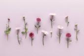plochý ležel s kvetoucím jarem chryzantémy na fialovém pozadí
