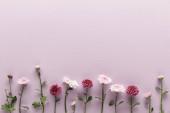 plochý ležel s kvetoucím jarem chryzantémy na fialovém pozadí s kopírovacím prostorem