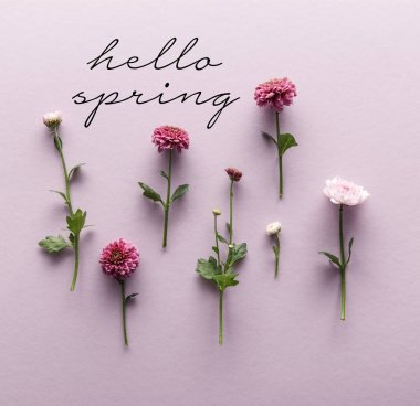 Flat lay with blooming spring Chrysanthemums on violet background, hello spring illustration stock vector