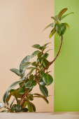 Plant with green leaves on beige and green background