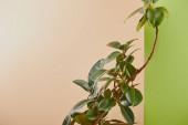 Természetes növény zöld levelek bézs és zöld háttér