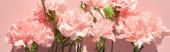 Draufsicht auf blühende Nelken auf rosa Hintergrund, Panoramaaufnahme