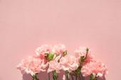 Fotografie horní pohled na kvetoucí karafiáty na růžovém pozadí