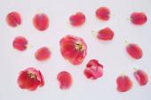felső nézet rózsaszín tulipánok és szirmok szórt fehér háttér