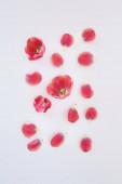 horní pohled na růžové tulipány a okvětní lístky roztroušené na bílém pozadí